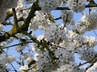 Mon cerisier en fleurs