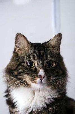 mon chaton norvegien croisé angora turc