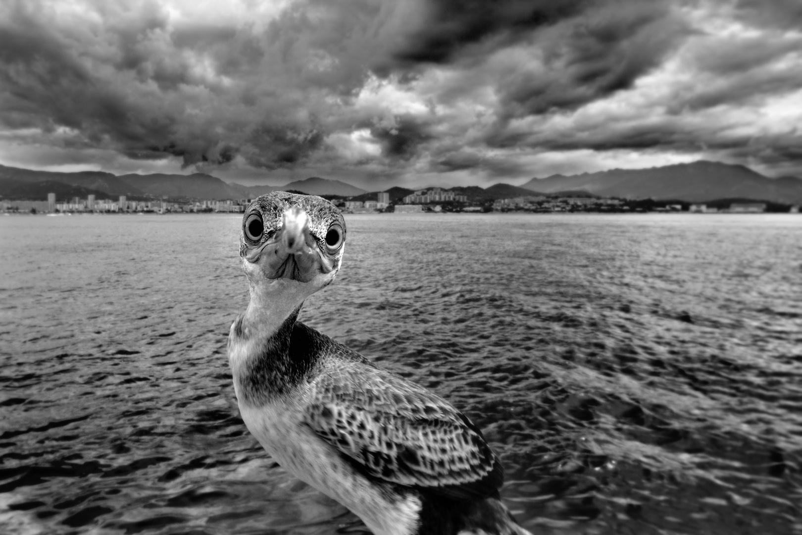 Mon copain le cormoran, gardien improvisé du port Tino Rossi à Ajaccio