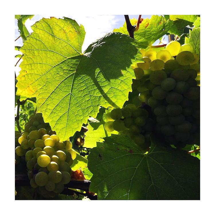 """Mon"""" dix"""" dans les vignes de Loire"""