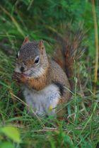 mon écureuil roux