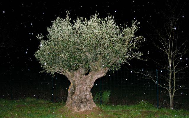 Mon olivier centenaire sous la neige tombante