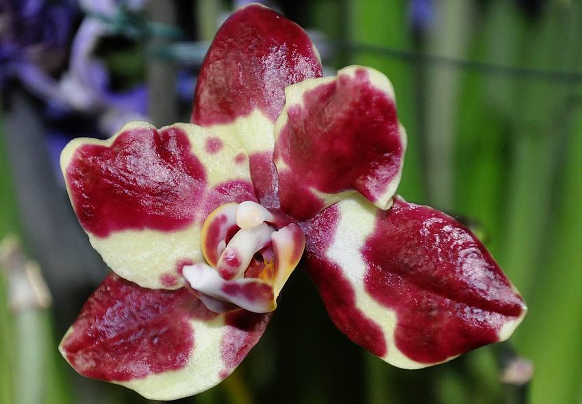 Mon orchidée à la rougeole, c'est grave