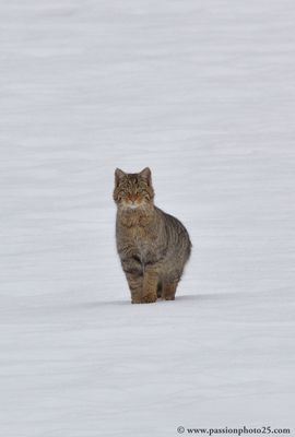 Mon premier Chat sauvage : oeil pour oeil