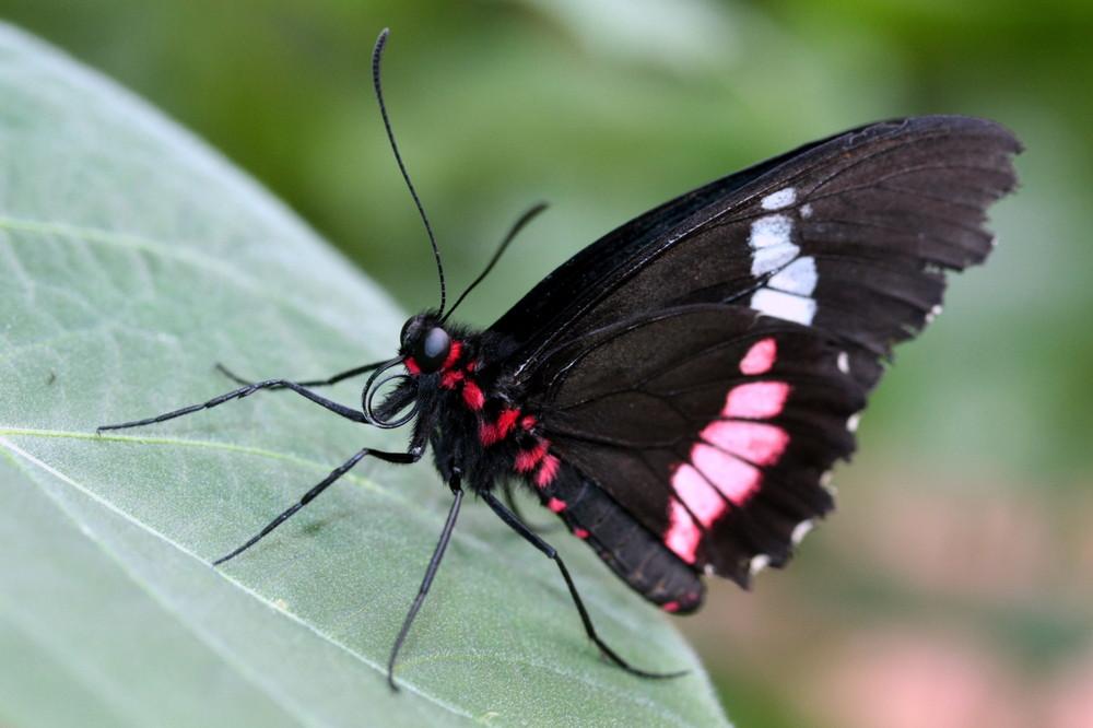 mon premier papillon (Parides iphidamas)