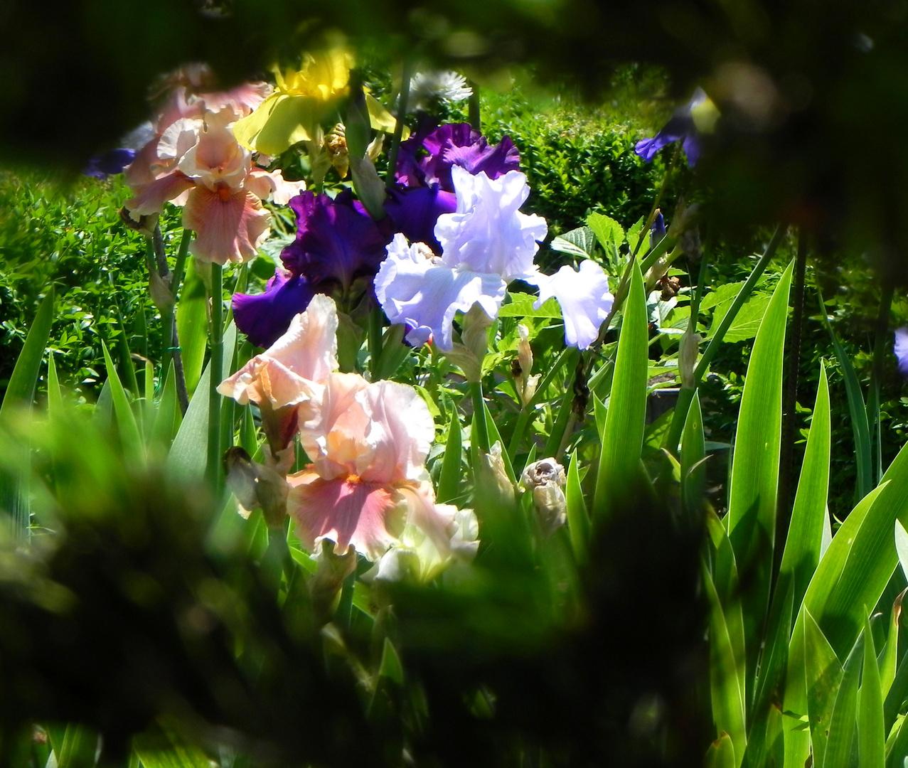 mon regard sur les iris