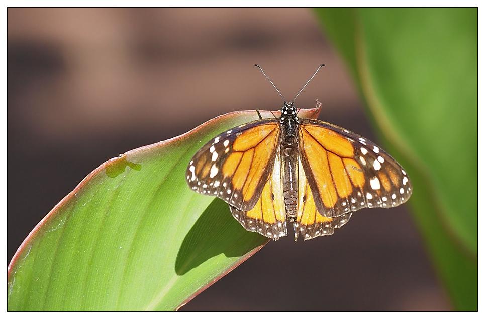 Monarch (3)