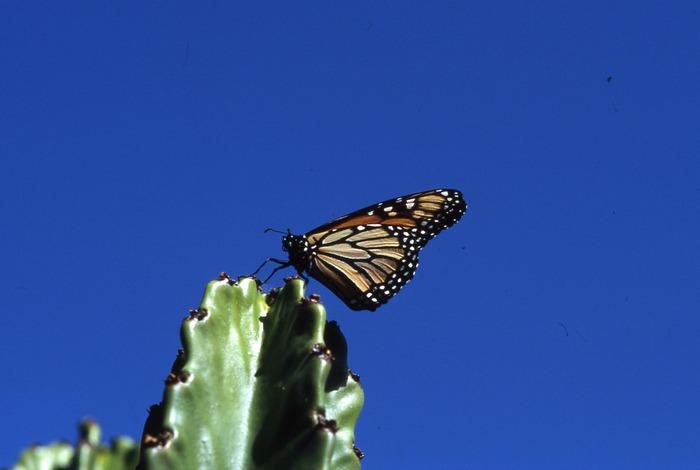 Monarch auf Riesenkaktus