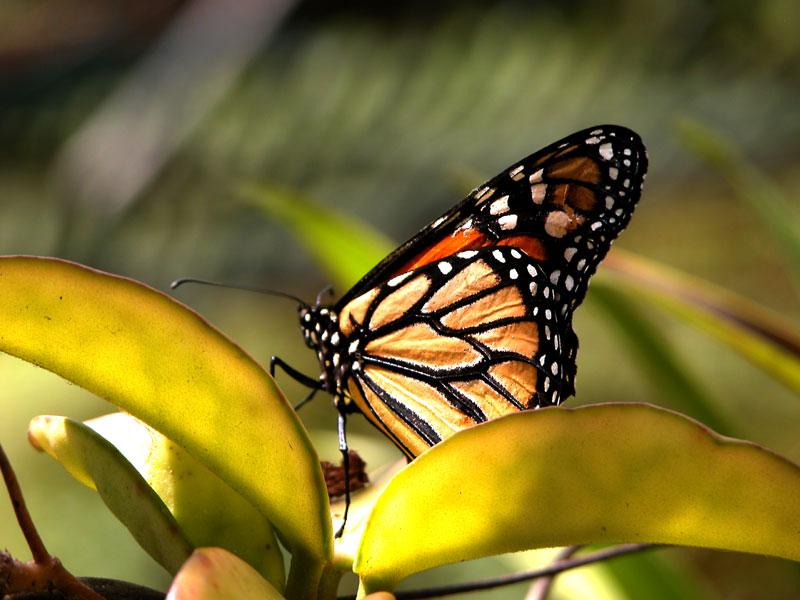 Monarch - Der Falter Madeiras