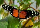 Monarch - Heliconius ismenus