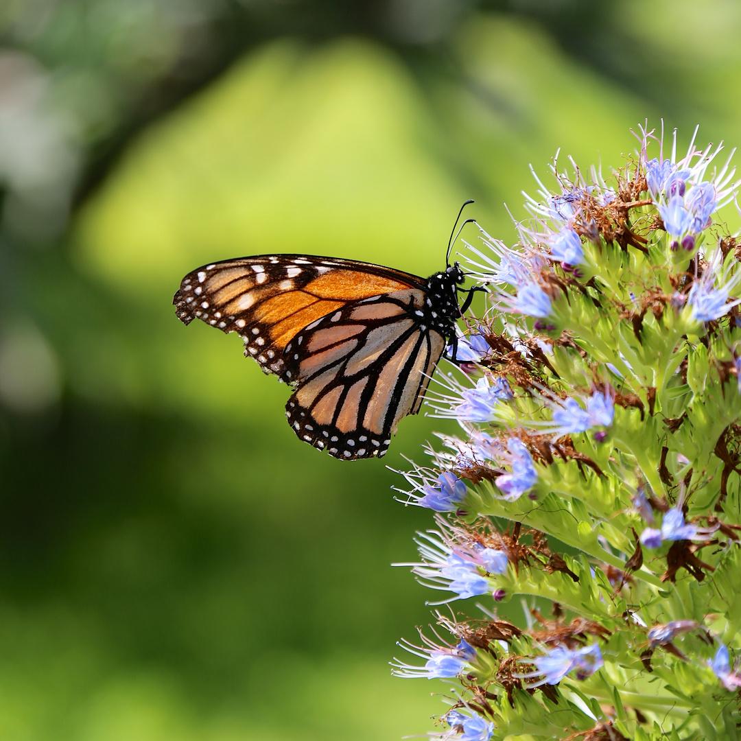 *Monarch*Butterfly*