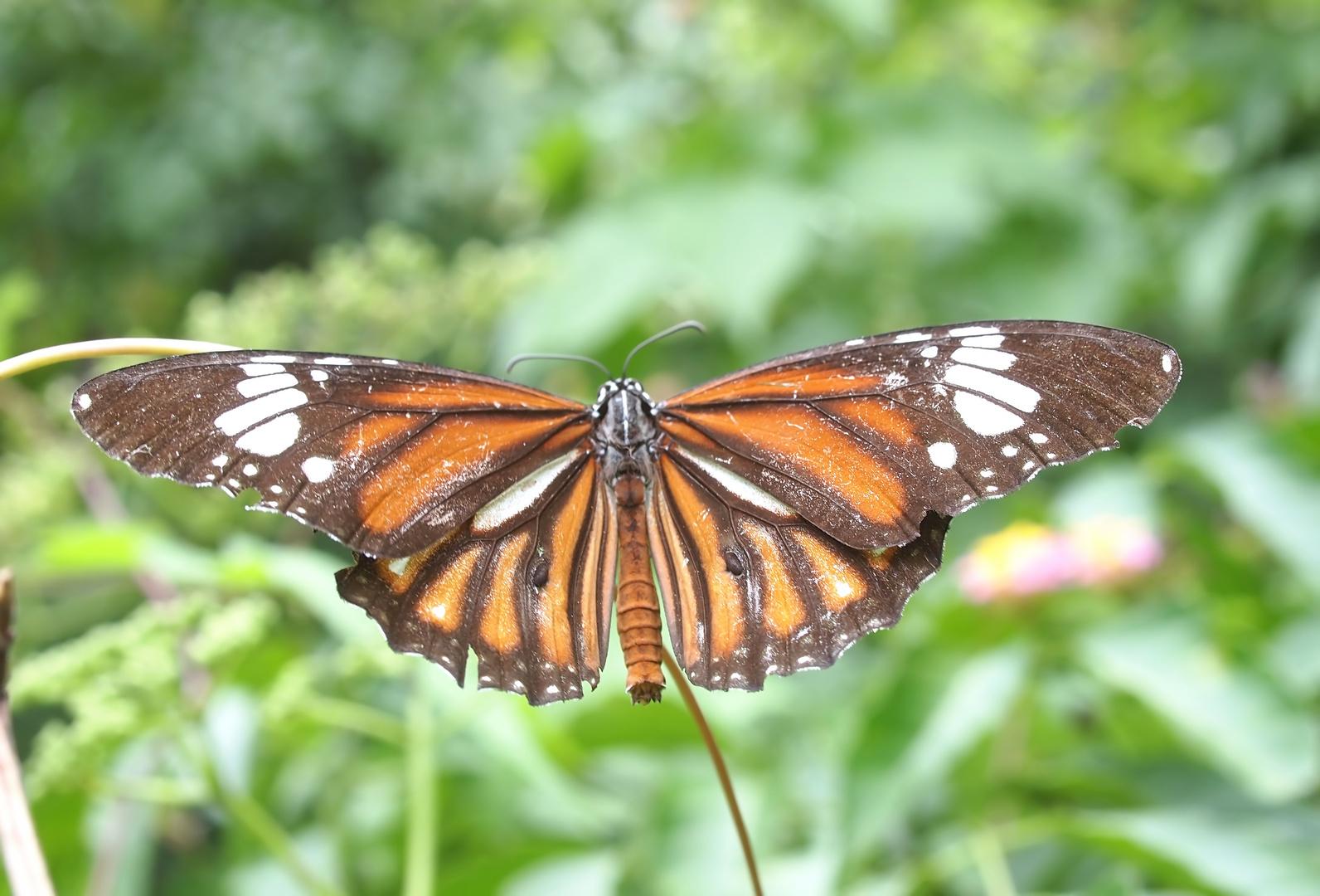 Monarchen & Verwandte - 3 - Danaus genutia