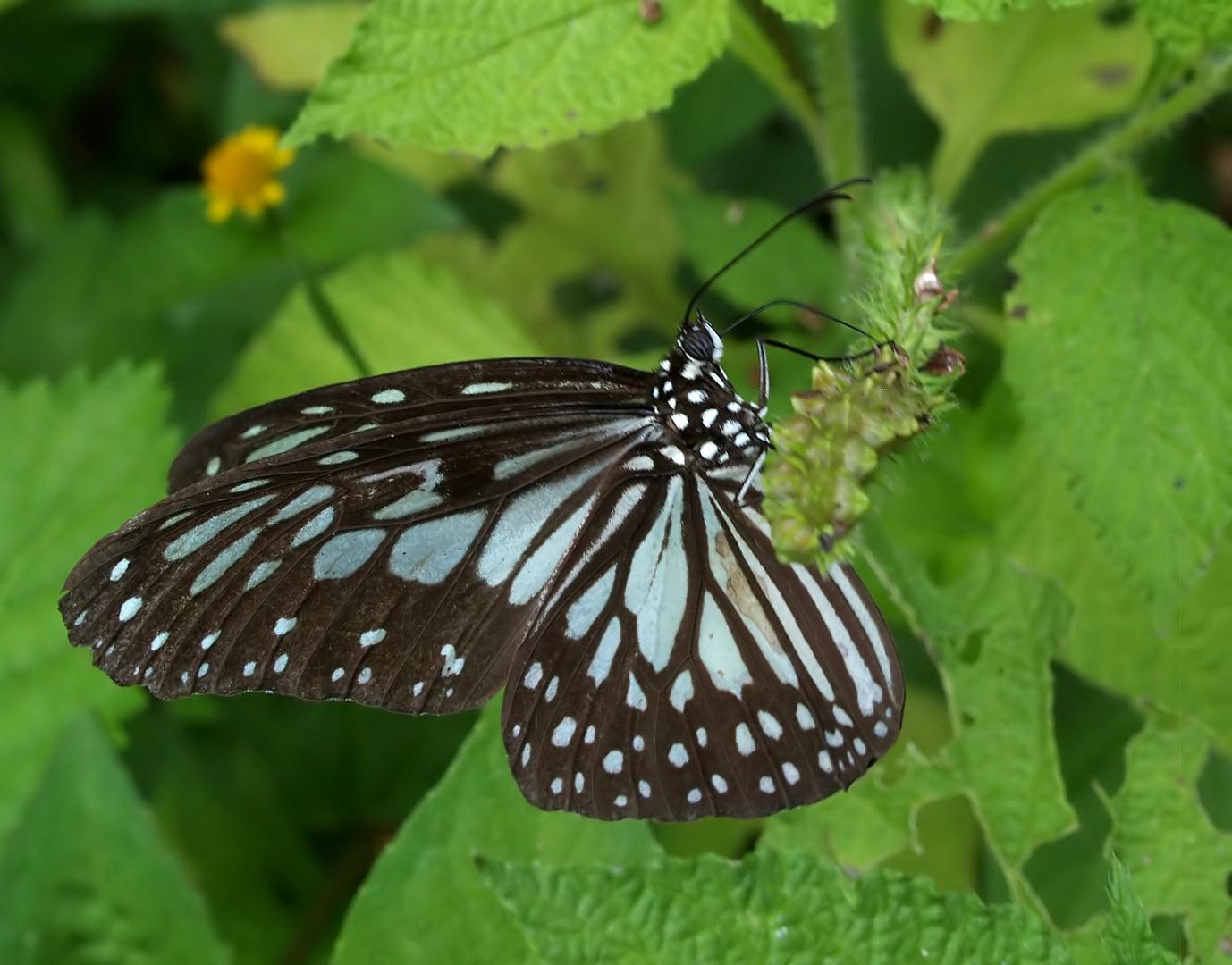 Monarchen & Verwandte - 5 - Ideopsis juventa