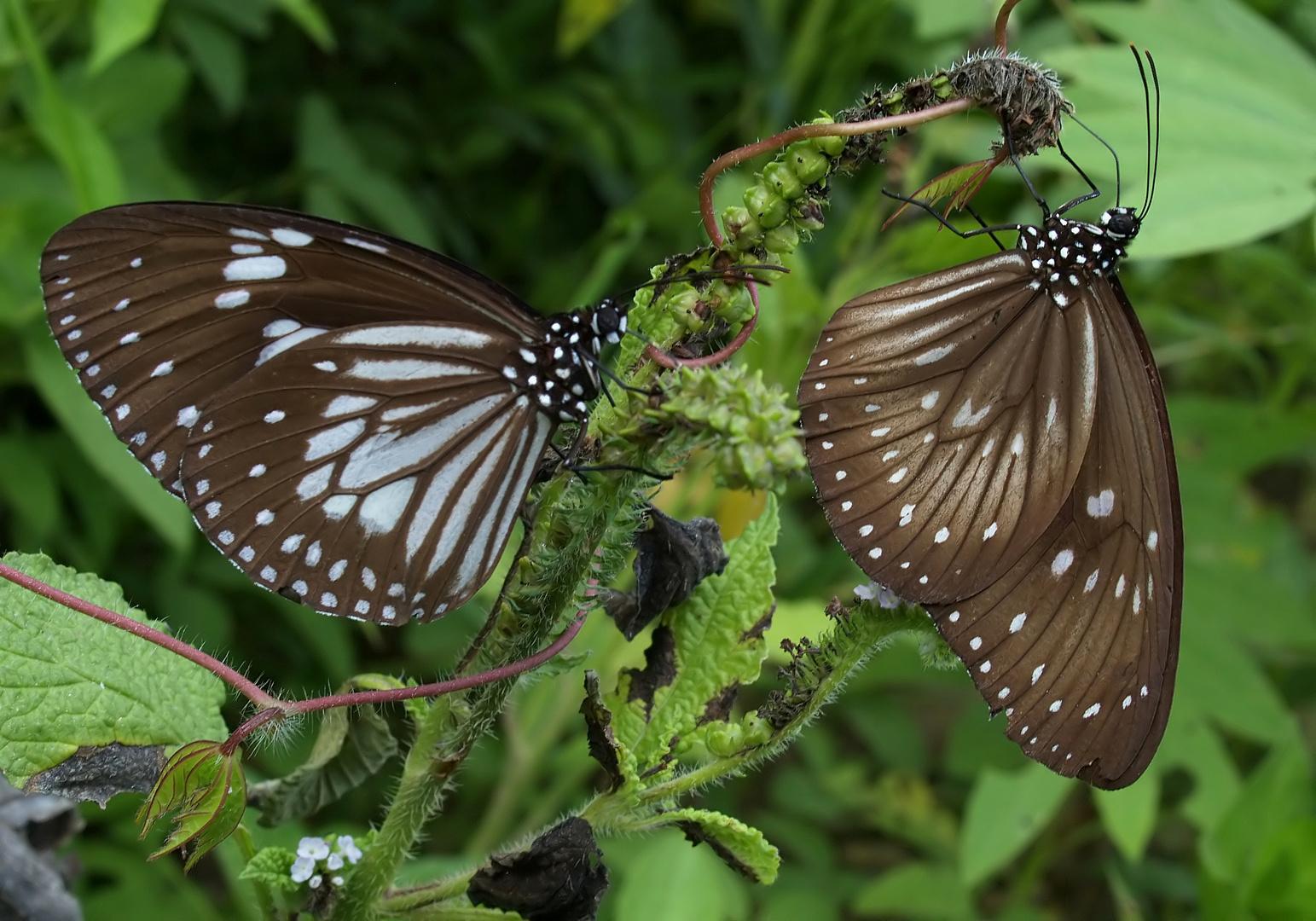 Monarchen & Verwandte - 6 - Euploea-Vielfalt