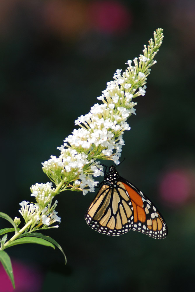 Monarchfalter (2)