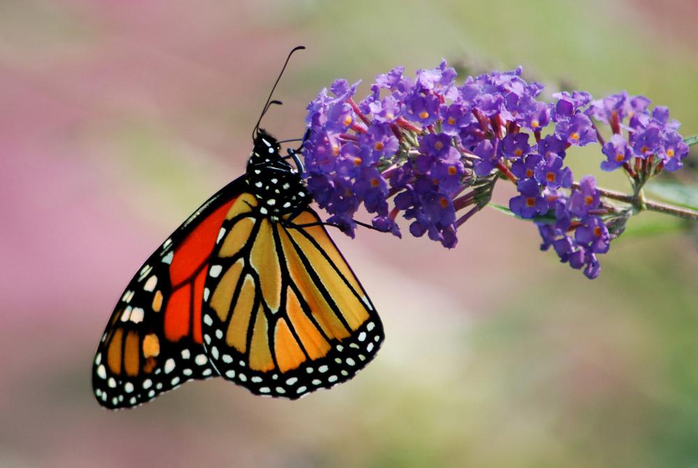 Monarchfalter (3)