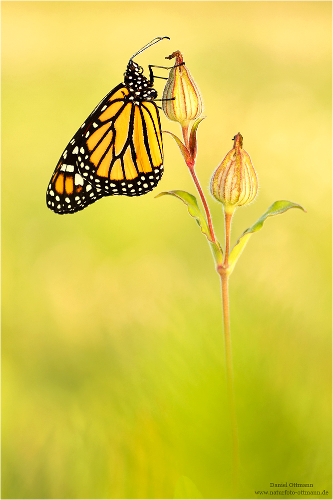 * Monarchfalter *