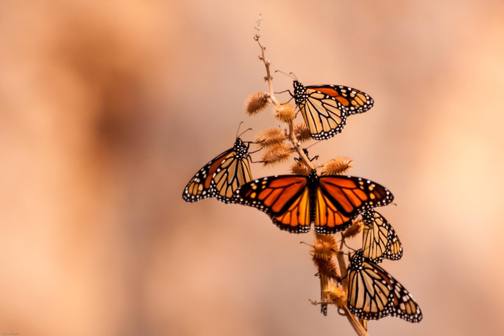 Monarchfalter auf der Durchreise in Big Bend Nationalpark,Texas