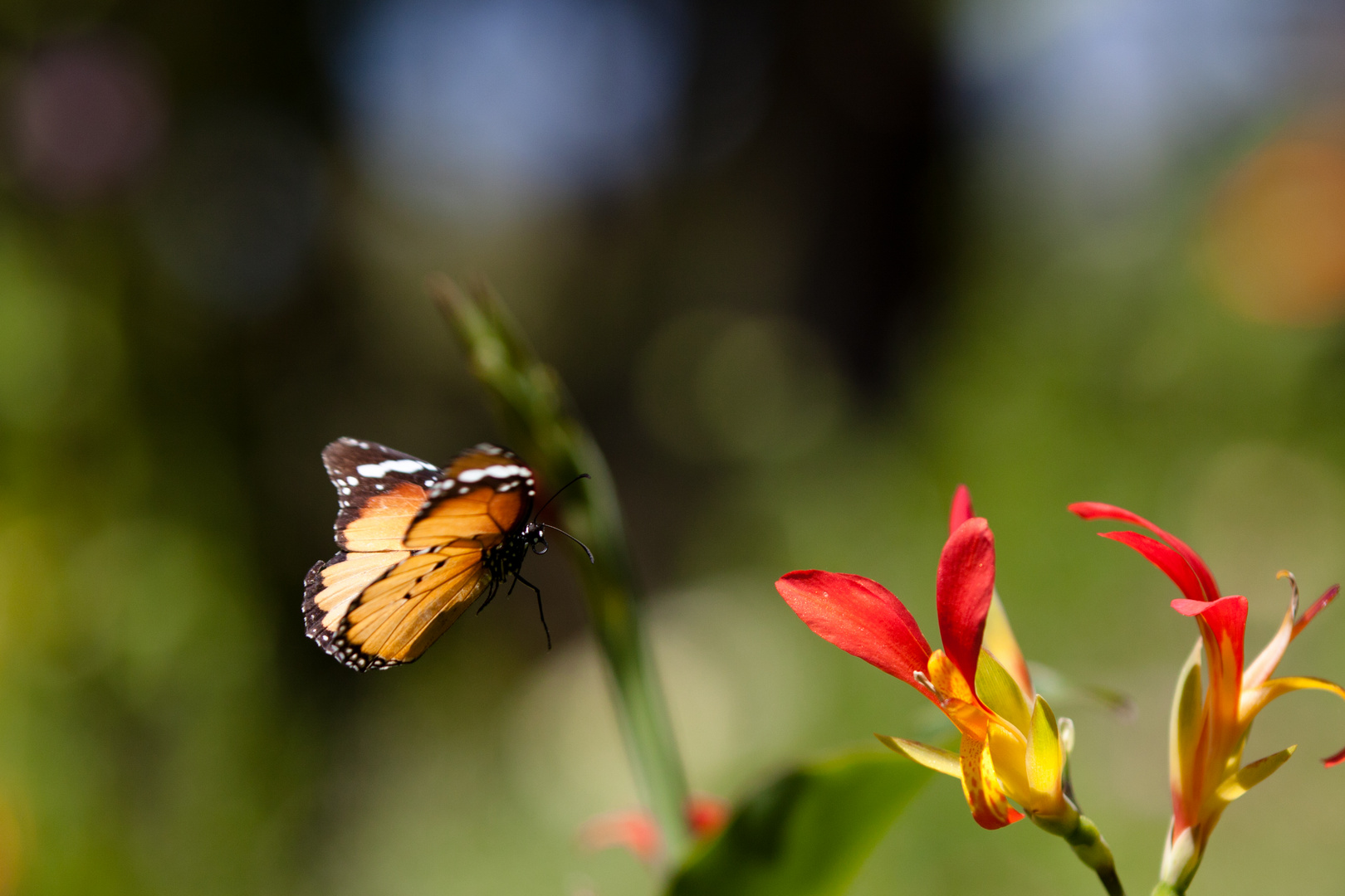 Monarchfalter im Flug