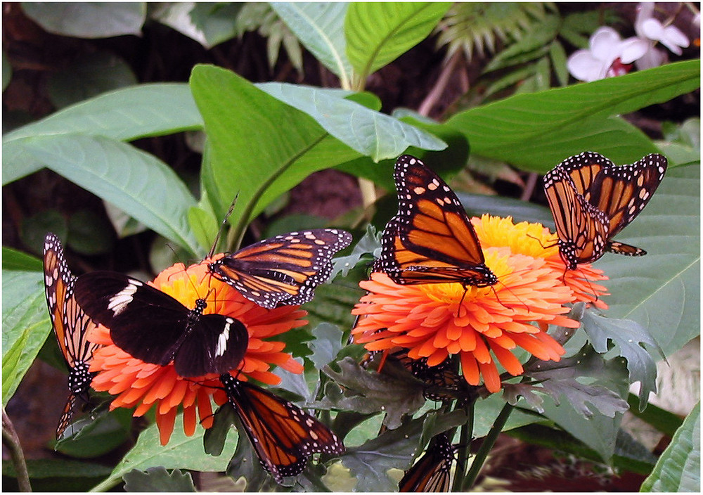 monarchfalter und ein besucher