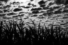 Mond im Maisfeld