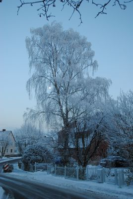 Mond in Winter-Birke