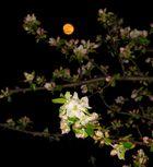 Mondblüte