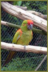Mondo-Verde  -  Papagei