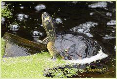 Mondo-Verde - Schildkröte