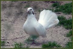 Mondo-Verde - weiße Taube