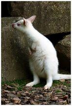 Mondoverde - weißes Kängeruh -