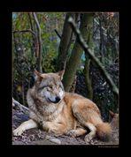 Mongolischer Wolf