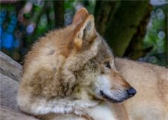 Mongolischer Wolf - Canis lupus chanco