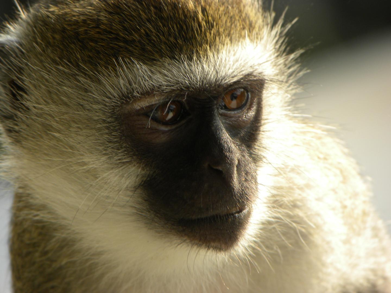 monkey affe kenia foto bild tiere wildlife wildlife. Black Bedroom Furniture Sets. Home Design Ideas