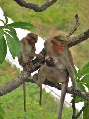 monkey familly