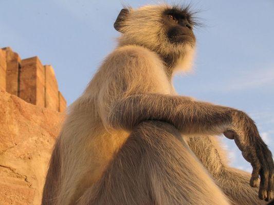 Monkey sitting at Jodhpur Fort in Rajasthan, India