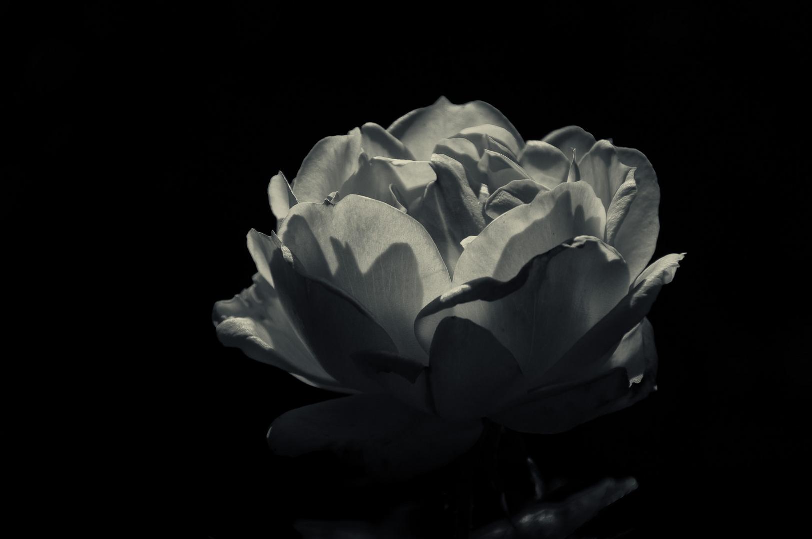 monochrome rose im licht