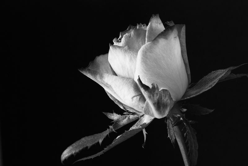 Monotone Rose