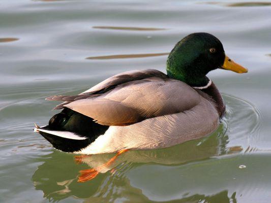 Monsieur le canard