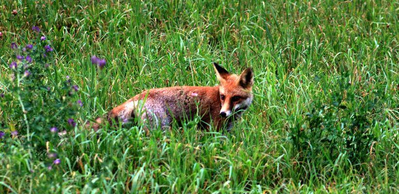 Monsieur le renard à la chasse aux souris