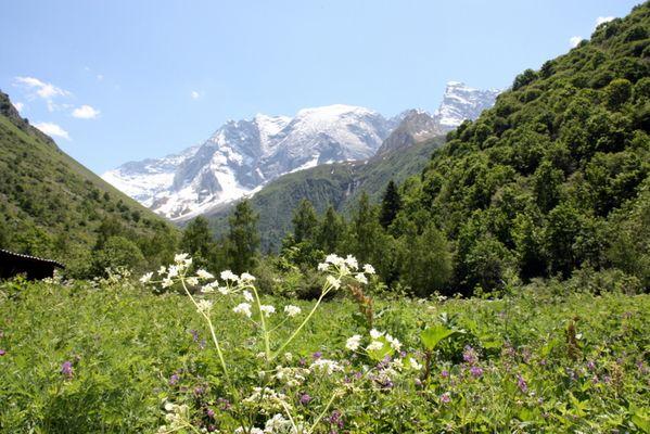 Mont-Blanc sur sapins verts