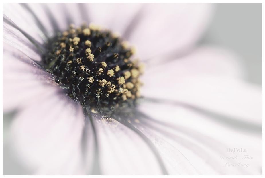 Montagmorgenblümchen (5)