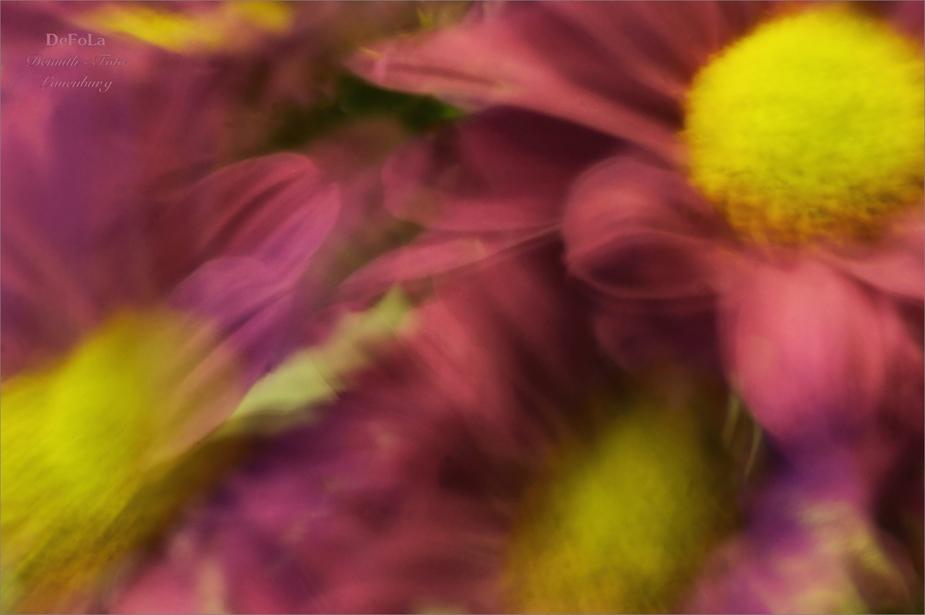Montagmorgenblümchen (6)