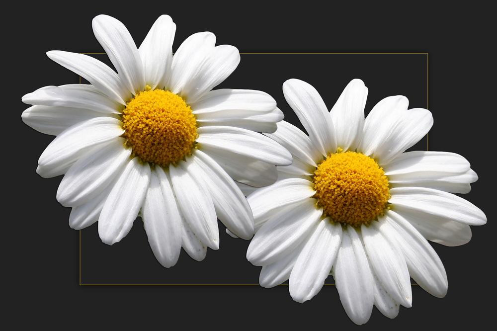Montagsblümchen
