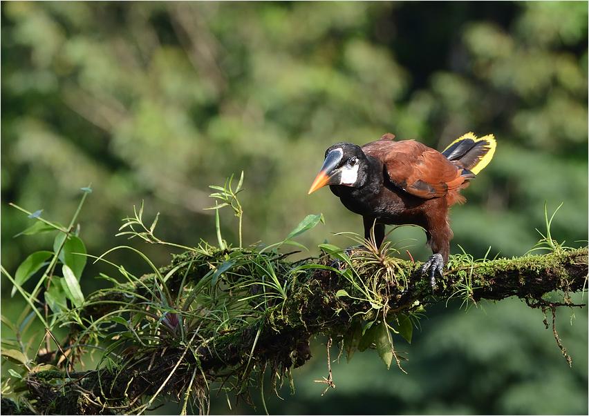 Montezuma Stirnvogel