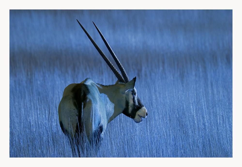 Moonshine Oryx