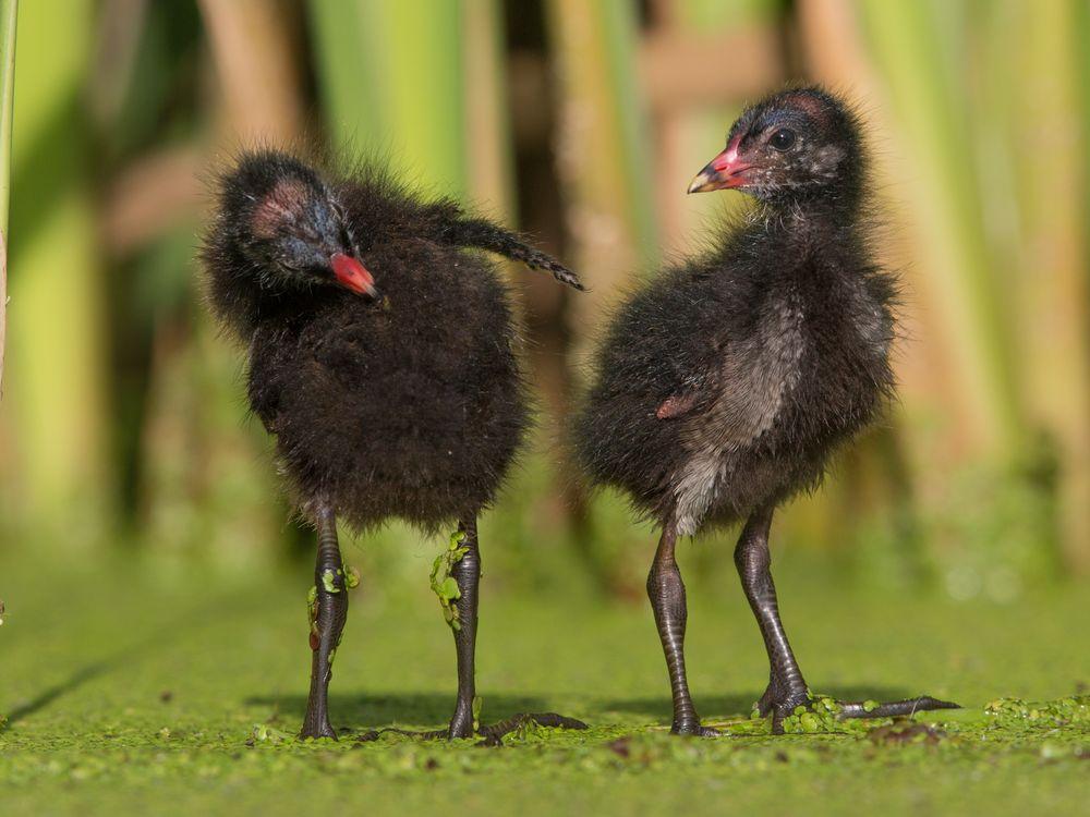 Moor hen chicks
