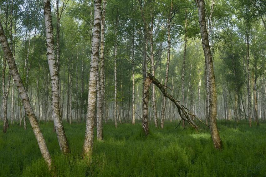 Moorbirkenwald im Biebrza Nationalpark