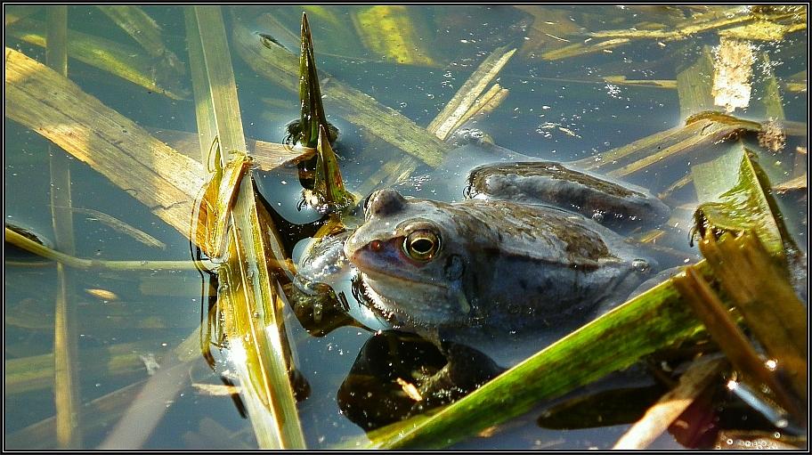 Moorfrosch-Männchen 2