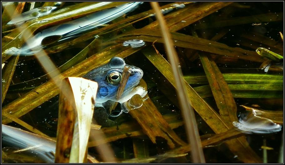 Moorfrosch-Männchen